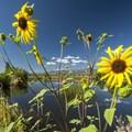 Kansas sunflower (Helianthus annuus) at Duck Pond.- Walden Ponds Wildlife Habitat