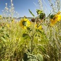 Kansas sunflower (Helianthus annuus).- Walden Ponds Wildlife Habitat, Wally Toevs Pond