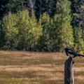 Magpie (Pica hudsonia).- Sylvan Lake State Park
