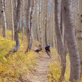 Quaking aspen grove along the Wasatch Crest.- Wasatch Crest Mountain Bike Trail