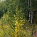 Much of the trail goes through aspen groves.- West Brush Creek Trail Hike