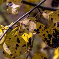 2015 was a very wet spring in Colorado, resulting in fungus disease on many aspen trees.- West Brush Creek Trail Hike