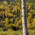Aspens displaying some fall color.- West Brush Creek Trail Hike