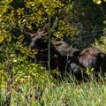 Bull moose along the trail.- West Brush Creek Trail Hike