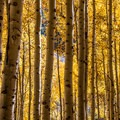 Aspen at the peak of fall color.- Crater Lake + Maroon Lake Hike via the Maroon-Snowmass Trail