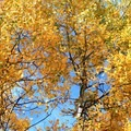 Golden aspen leaves.- Marvine Lake Trail