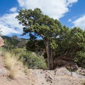 A large old juniper next to the trail with the summit in the background.- Mount Olympus via Wasatch Boulevard Trailhead