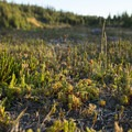 Ground cover foliage in the tundra-like meadow.- Chambers Lakes Hike via Obsidian Trailhead