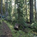 Trail through forest dominated by mountain hemlock (Tsuga mertensiana) between the PCT and Eileen Lake.- Eileen Lake + The Husband Lake Hike