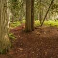 Ancient Cedars Trail.- Ancient Cedars Trail Hike