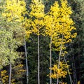 Yellow aspen trees- The Grottos Hiking Trails
