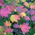 Beautiful fall colors in the Three Sisters Wilderness.- Linton Lake Hike