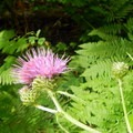 Thistle flowers attract bees and butterflies to the meadows.- Middle Pyramid Hike