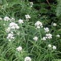 The meadows fill with wildflowers like this pearly everlasting.- Middle Pyramid Hike