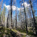 Lodgepole pines.- Gore Lake Hike via the Gore Creek Trail