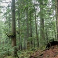 The trail zigzags past some ancient ceder trees.- Mount Seymour Trails: CBC