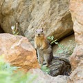 A wary chipmunk.- Lake Anna via Long Canyon