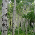 These aspen groves near Gilpin Lake are a delight in the fall.- Zirkel Circle Hike