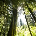 Old-growth in Olallie State Park.- Weeks Falls
