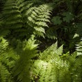 Lady fern (Athyrium filix-femina) along the trail en route to Weeks Falls.- Weeks Falls