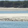 Harbor seals (Phoca vitulina) on sand bar in Netarts Bay.- Netarts Bay Landing