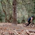 Climbing through pines along the Mueller Park Trail.- Mueller Park Trail Mountain Bike Ride to Big Rock