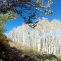Entering the aspen forest.- Big Mountain Summit Hike