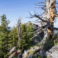 A gnarled, dead tree marks the point where the trail descends at the top of the North Route.  - Kessler Peak Loop Hike via Carbonate Pass