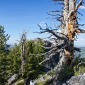 A twisted dead tree where the trail reaches the summit ridgeline. - Kessler Peak Hike via the North Route