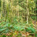 The forest is thick with ferns and moss.- Menzies Trail Mountain Bike Ride