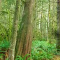 Riding the Menzies Trail in Golden Ears Provincial Park.- Menzies Trail Mountain Bike Ride