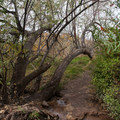 Russian olive tree where the trail crosses a stream.  - The Living Room Hike