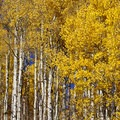 Hiking through aspens during fall.- Fulford Cave