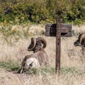 Bighorn sheep are frequently seen near the river.- Jones Hole Trail