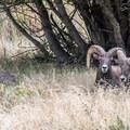 Bighorn sheep on the Jones Hole Trail.- Jones Hole Trail