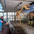 Reconstructed Allosaur.- Dinosaur Quarry