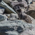 Hoary Marmots are common in alpine terrain around here, and you might hear them making the distinct whistling noise that gave Whistler its name.- Black Tusk Hike