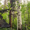 Trailside alpine birch. - John Muir Trail Section 2
