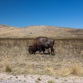 Buffalo roam freely on Antelope Island.- White Rock Bay Campground