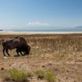 Buffalo roam freely on Antelope Island. - Bridger Bay Campground