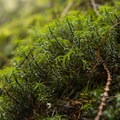 Common haircap moss (Plytrichum commune).- Twin Falls Hike via Homestead Valley Trailhead