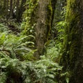 Fern-filled forest.- Twin Falls Hike via Homestead Valley Trailhead