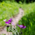 Early spring wildflowers abound along the trail.- Pacific Northwest National Scenic Trail Section 1