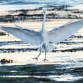 Snowy egret at Pleasure Point.- Pleasure Point