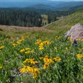 Wildflowers line the trail in summer.- Tushar Skyline Trail Hike