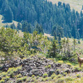 Deer are common along the Skyline Trail. Keep an eye out for mountain goats as well.- Tushar Skyline Trail Hike