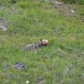 Marmot.- Phoenix Falls Hike