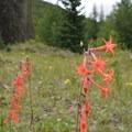 Scarlet bugler.- Phoenix Falls Hike
