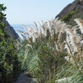 Pampas grass along the Ho Chi Minh Hiking Trail.- Ho Chi Minh Hiking Trail to Black's Beach