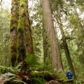 The forest dwarfs a hiker in Hidden Grove.- Hidden Grove Hiking Trails